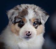 Australian sheperd puppy. Australian sheperd dog puppy in studio with background Stock Photography