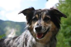 Australian shepherd royalty free stock photos