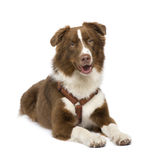 Australian shepherd (18 months) Royalty Free Stock Photo