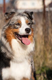 Australian shepherd_2 Stock Photos