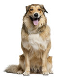 Australian shepherd, 2 years old, sitting Royalty Free Stock Images