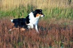 Australian Shepherd. Is running fast Stock Photo