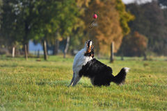 Australian Shepherd. Dog is playing with a ball Royalty Free Stock Photo