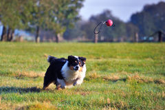 Australian Shepherd. Dog is playing with a ball Royalty Free Stock Photos