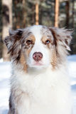Australian Shepherd Royalty Free Stock Photo