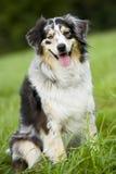 Australian shepherd Royalty Free Stock Images