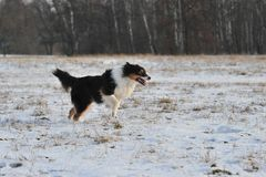 Australian Shepherd Royalty Free Stock Photos
