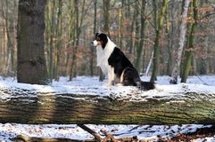 Australian Shepherd Stock Images
