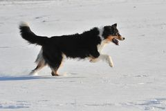 Australian Shepherd Royalty Free Stock Images