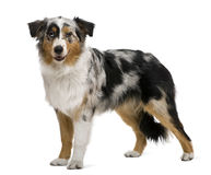 Australian shepherd, 6 months old Royalty Free Stock Photos