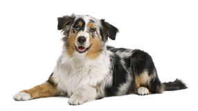 Australian shepherd, 6 months old Stock Photo