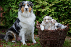 Australian Shepherd adult female dog with her puppies in wicker basket. On the garden grass Royalty Free Stock Photo