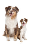 Australian Shepherd Adult and puppy Royalty Free Stock Photo
