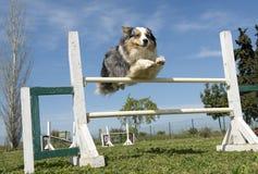 Australian shepherd in agility Royalty Free Stock Photo