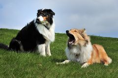 Australian Shepherd and American Collie Royalty Free Stock Image