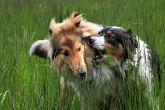Australian Shepherd and American Collie Royalty Free Stock Photos