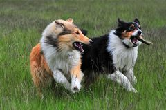 Australian Shepherd and American Collie Stock Photography