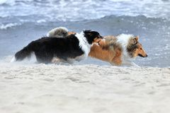 Australian Shepherd and American Collie Royalty Free Stock Photo