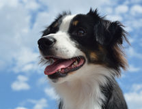 Australian Shepherd (Aussie) Dog. Black Tricolor Australian Shepherd (Aussie) Dog with Sky in the Background Stock Photography