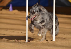 Australian Shepherd (Aussie) at Dog Agility Trial. Australian Shepherd (Aussie) Weaving Through Weave Poles at a Dog Agility Trial Royalty Free Stock Images