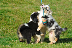 Australian Shepherd aussie puppies with toy Stock Photos