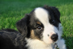 Australian Shepherd (Aussie) Puppy Stock Photography