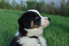 Australian Shepherd (Aussie) Puppy Royalty Free Stock Photo