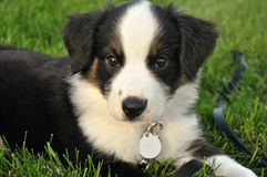 Australian Shepherd (Aussie) Puppy. Tricolor Australian Shepherd (Aussie) Puppy Outside on Grass Royalty Free Stock Images