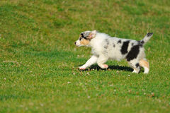 Australian Shepherd aussie puppy. From side running on grass royalty free stock images