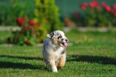 Australian Shepherd aussie puppy Stock Image