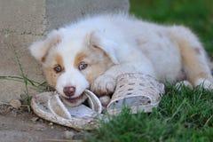 Australian Shepherd aussie puppy. Australian Shepherd puppy chew shoe Stock Images