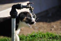 Australian Shepherd aussie puppy. Australian Shepherd puppy drinking from water tap on the garden Stock Photos