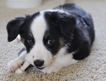 Australian Shepherd (Aussie) Puppy Chewing. On a Rawhide Bone Royalty Free Stock Photography