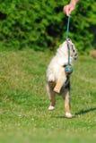Australian Shepherd aussie puppy in game Stock Photos