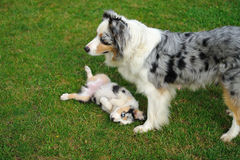 Australian Shepherd aussie with puppy in game Royalty Free Stock Photography