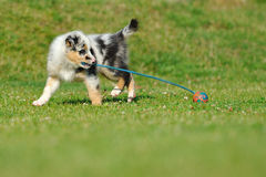 Australian Shepherd aussie puppy with toy. Australian Shepherd aussie puppy playing with toy as ball on rope in the garden Stock Photo