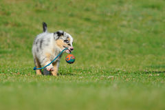 Australian Shepherd aussie puppy with toy. Australian Shepherd aussie puppy playing with toy as ball on rope in the garden Royalty Free Stock Images