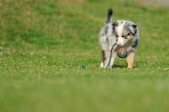 Australian Shepherd aussie puppy with toy Stock Photo