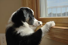 Australian Shepherd (Aussie) Puppy Watching. Tricolor Australian Shepherd (Aussie) Puppy Looking Out a Window Stock Images
