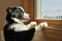 Australian Shepherd (Aussie) Puppy Watching. Tricolor Australian Shepherd (Aussie) Puppy Looking Out a Window Royalty Free Stock Photos