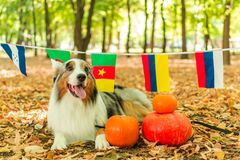 Australian shepherd in the autumn forest performs the command. Halloween pumpkin nature flags royalty free stock photos