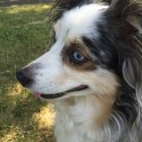 Australian Shepherd In Profile Royalty Free Stock Images