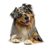 Australian shepherd blue merle, lying, panting, 4 years old Royalty Free Stock Image