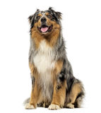 Australian shepherd blue merle, sitting, panting and looking up Stock Image