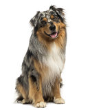 Australian shepherd blue merle sitting and panting, 4 years old. Isolated on white royalty free stock photos