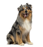 Australian shepherd blue merle, sitting, panting, 4 years old Stock Photography