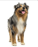 Australian shepherd blue merle standing, panting, looking up Stock Image