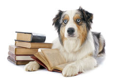 Australian shepherd and books Royalty Free Stock Photography