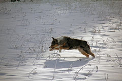 Australian Shepherd Bounding in the Snow Royalty Free Stock Photos