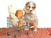 Australian Shepherd with cart and bones on white Stock Images